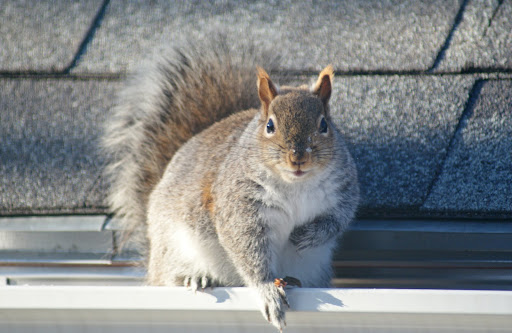 squirrel_136__ready_to_rumble__by_easterngraysquirrel-d7ardos.jpg